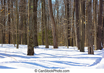 Pine forest on winter morning - Winter morning in the...