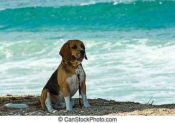 Beagle 2 - Photo of dog on the beach.