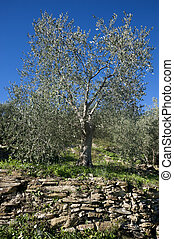 Olive tree and a a close up of olives, ligurian olives the...