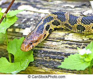 zorro, serpiente