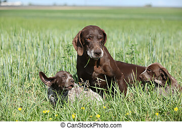 Beautiful German Shorthaired Pointer with puppies in nature