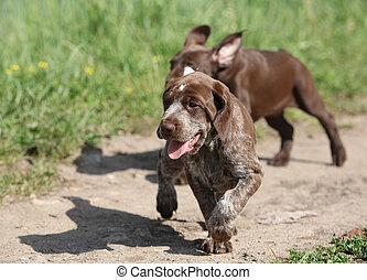 Puppy of German Shorthaired Pointer running - Puppies of...