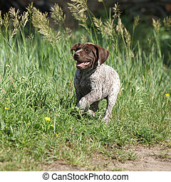Puppy of German Shorthaired Pointer running in nature