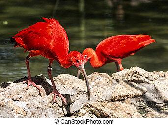 Pair of Scarlet ibis Eudocimus ruber, birds scene, beauty in...