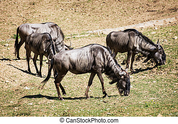 Blue wildebeest Connochaetes taurinus graze, animal scene -...