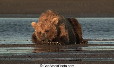 Grizzly Bear at Katmai estuary - Grizzly Bear Ursus arctos...