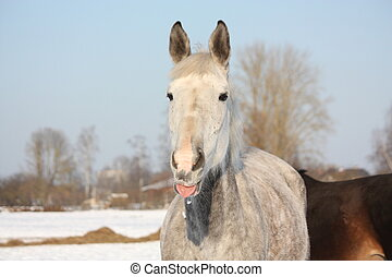 Portrait of white horse licking its lip - Portrait of white...