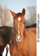 Portrait of chestnut young colt in winter