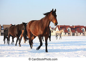 Herd of horses running free in winter