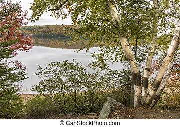 White Birches Next to a Lake in Autumn - Algonquin...