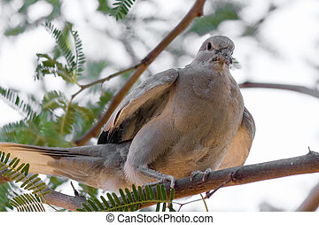 Arizona Mourning Dove on Mesquite Tree - Arizona most common...