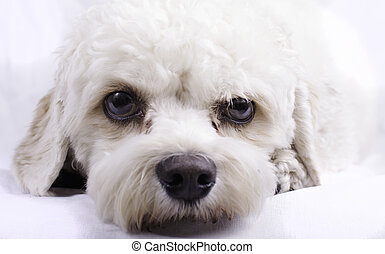 Cavapoo Toy Dog - Portrait of a cavapoo toy dog.