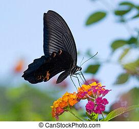 flying swallowtail butterfly feeding on orange flower