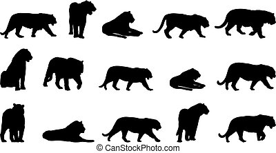 Tiger, fifteen different postures
