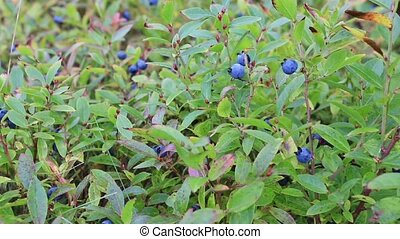 Blueberries - Lowbrush blueberries.
