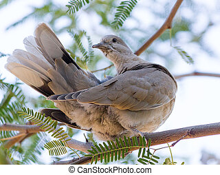 Mourning Dove on Mesquite Tree - Arizona most common and...