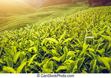 Tea plantation in Malaysia - Tea plantation in Cameron...