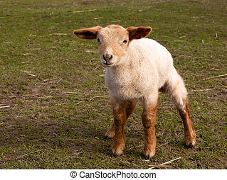 Curious little springtime lamb - Newborn little springtime...