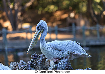 Great white pelican, Pelecanus
