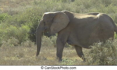 Elephant calf learns to use trunk - Funny sight as African...