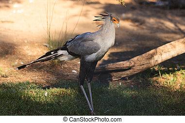 Secretary bird, Sagittarius serpentarius, is endemic to the...
