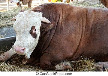 bullock  - thumping bullock
