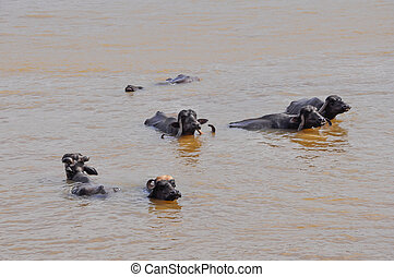 Water buffalo cooling in the muddy river in India