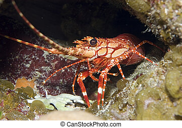 Am I dinner? - A red-banded lobster stands warily against a...