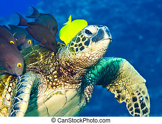 Turtle being cleaned - A shoal of surgeonfish are feeding on...