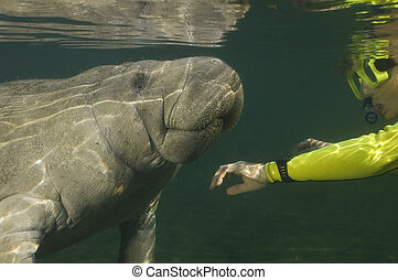 Snorkeler greets manatee - A woman faces and greets a...