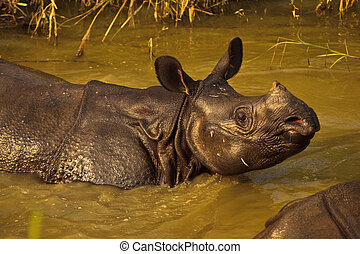 Rhinocerous Unicornis Sunning In River in Nepal - Closeup of...