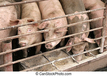 pigs in a fence