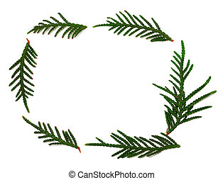 Thuja branchs on white with copy space