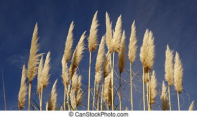 Pampas Grass Flowers - White pampas grass (Cortaderia...