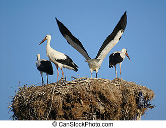 Storks - Four storks in their nest, situated over electric...