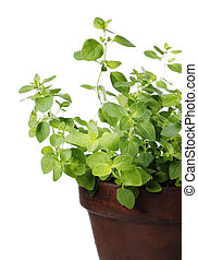 Oregano plant in a clay pot Short depth of field