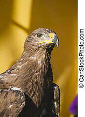 Beauty golden eagle, detail of head with large eyes, pointed...