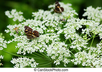 Map butterfly on Cow Parsley - The European Map butterfly...