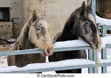 Young Lipizzan Horses in winter - Young Lipizzan Horses...