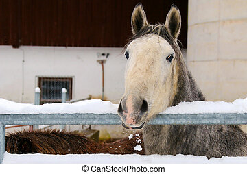 Young Lipizzan Horse in winter - Young Lipizzan Horse...