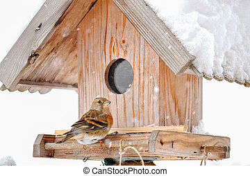 The Brambling on a wooden house - The Brambling Fringilla...
