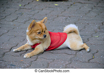 little dog with a red shirt