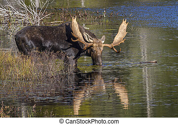 Large Bull Moose Feeding on Water Lilies in Autumn - Large...