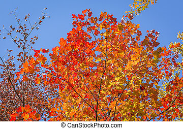 Sugar Maple Tree in Autumn - Ontario, Canada - The brilliant...