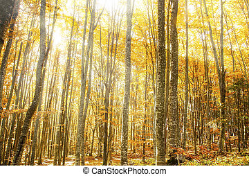 Beautiful Beech Forest with Magic Golden Sunrays