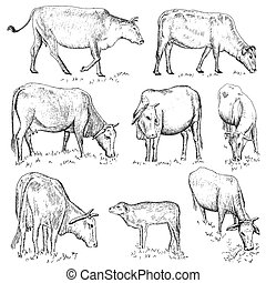 Vietnamese cow. hand drawing set of vector sketches