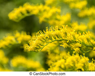 goldenrod flower background