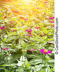 Zinnia flower (Zinnia violacea Cav.) - Zinnia flower in the...