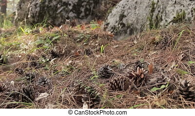 Pine cones among fallen needles on - panorama of the forest...