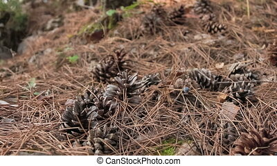 Pine cones and needles in woodland - Dried pine needles...